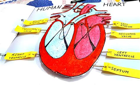3D human heart for science project ideas | Science