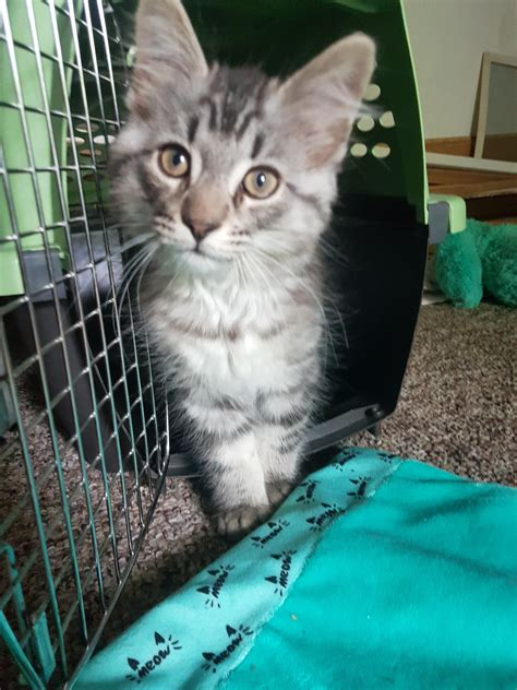 Is my kitten Maine Coon? 3 months old : mainecoons