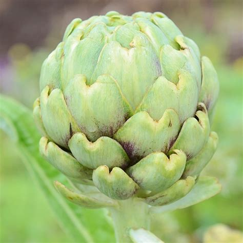 Imperial Star Artichoke Seed - Territorial Seed Company