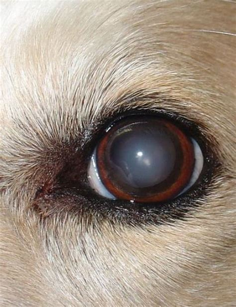 Home Remedies for Dog Cataracts - Best Pet Home Remedies