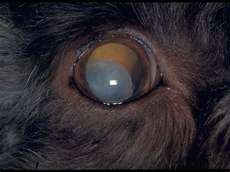 Lens: luxation in dogs | Vetlexicon Canis from Vetlexicon