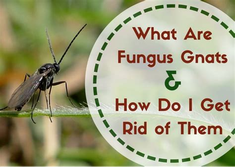 Fungus Gnats: Where Do These Little Flying Bugs Come From
