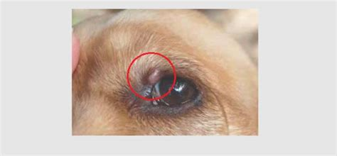 Growths & Bumps on Dog's Eyelid: Types, Causes