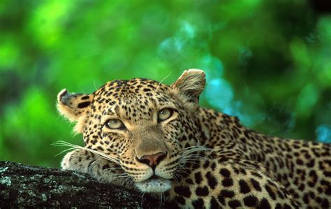 Where to See Leopards in South Africa