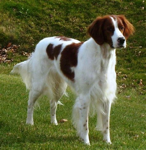 Irish Red and White Setter Breed Guide - Learn about the
