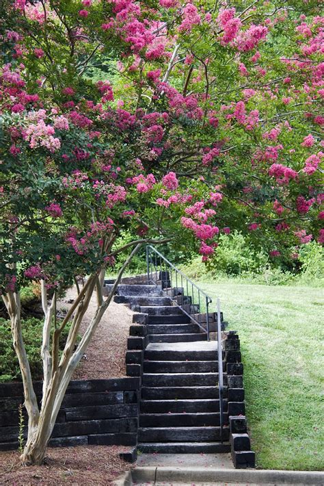 Crepe Myrtle Tree Roots – Learn About The Invasiveness Of