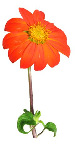 Free Realistic Flowers Cliparts, Download Free Clip Art